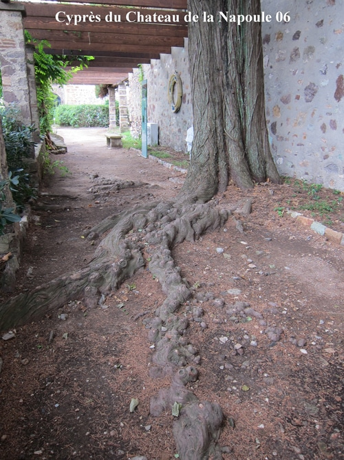 racines superficielles du cyprès