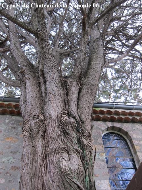 branches ascendantes du cyprès du château de La Napoule