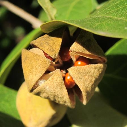 capsule du Lagunaria