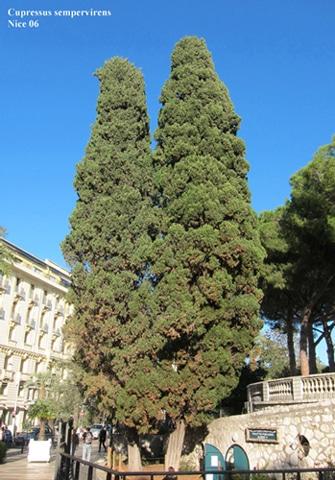 Cyprès de Provence square Albert 1er
