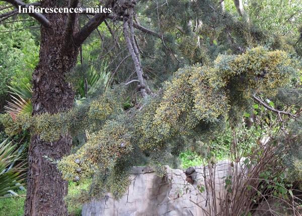 inflorescences mâles du cyprès