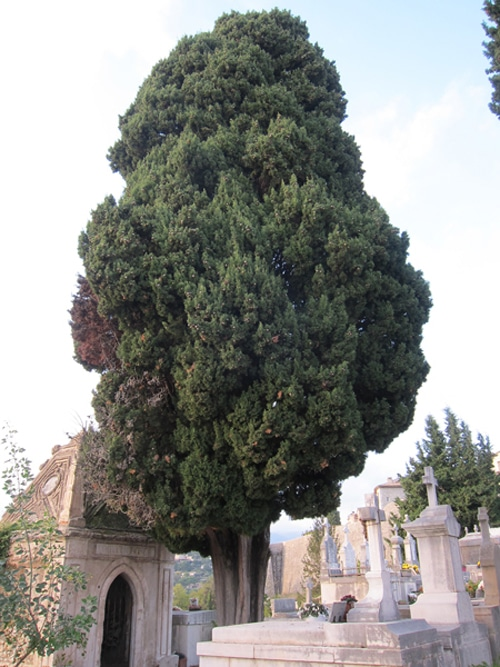 cyprès arbre de cimetières