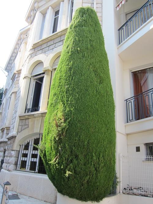 cyprès taillé à Nice 06