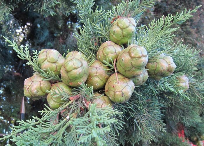 cônes du Cupressus sempervirens