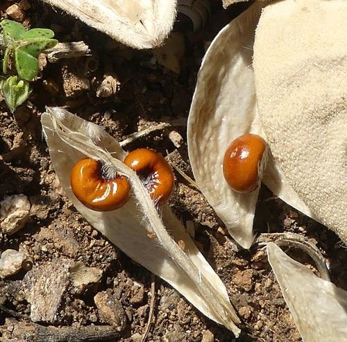 graines réniformes du Lagunaria
