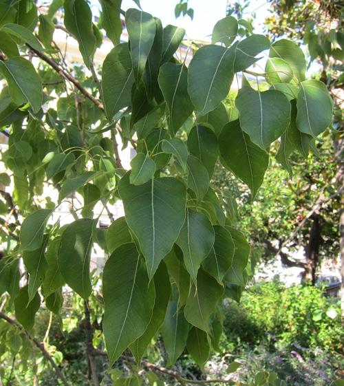 feuillage Brachychiton populneus