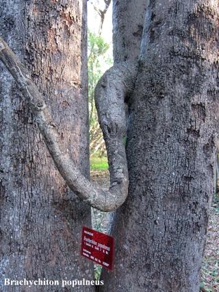 écorce Brachychiton populneus
