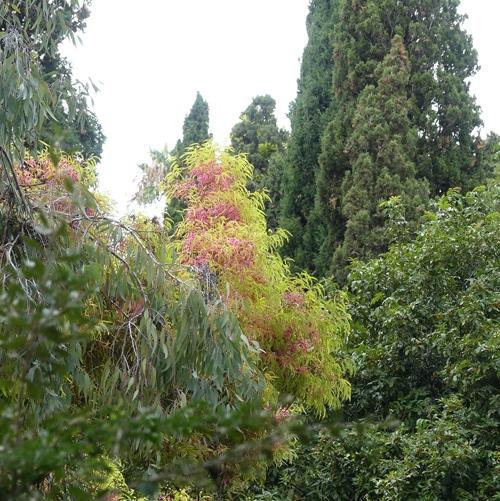 floraison eucalyptus à Hanbury