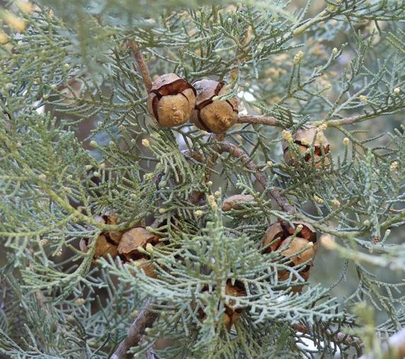 cônes du cyprès de Duprez