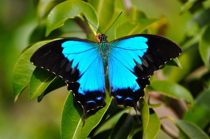 Papilio montrouzieri