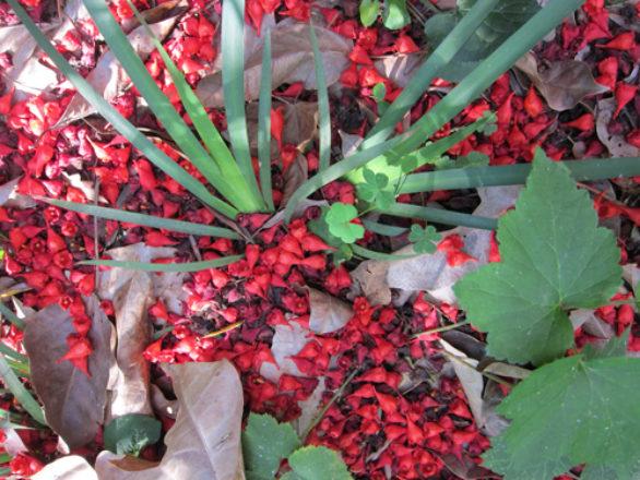 fleurs brachychiton à feuilles d'érable