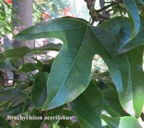 feuilles de Brachychiton acerifolius