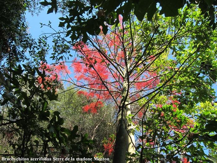 flamme australienne Serra madone Menton