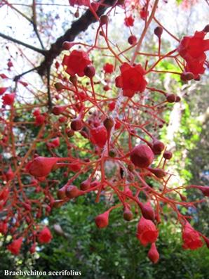 fleurs Brachychiton acerifolius