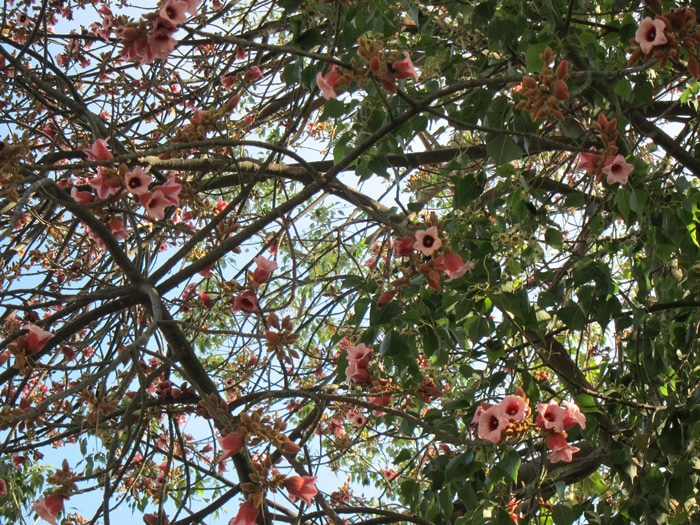 floraison Brachychiton luridus