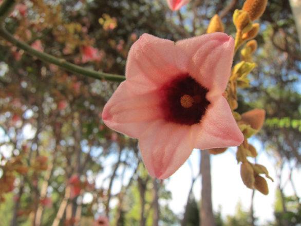 fleur de Brachychiton discolor