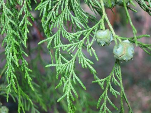 feuillage Cupressus funebris