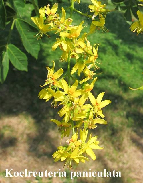 thyrses de Koelreuteria paniculata