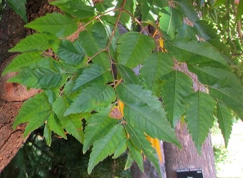 feuilles Koelreuteria elegans subsp. formosana