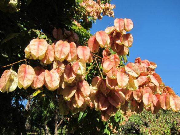 capsules de Koelreuteria integrifolia