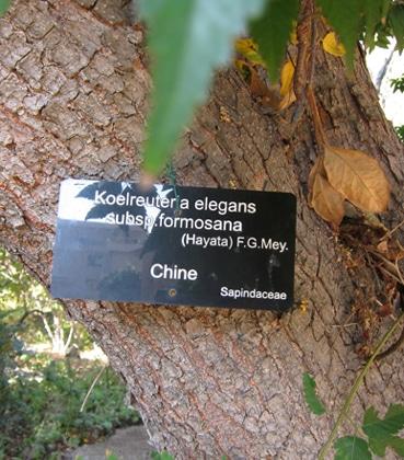 écorce Koelreuteria subsp. formosana