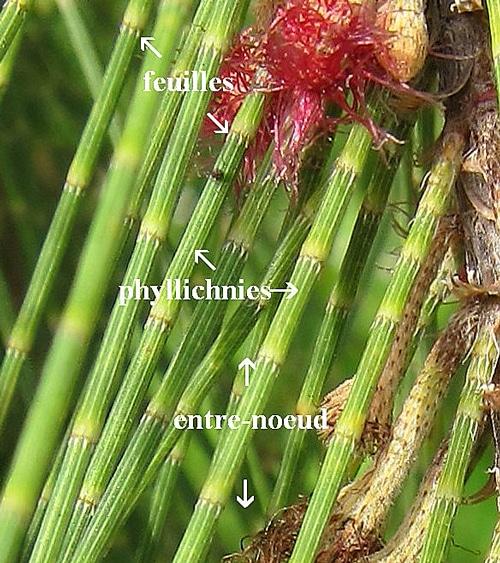 phyllichnies Casuarina