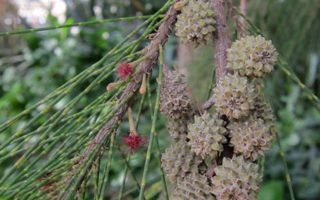 fleurs et fruits du Casuarina