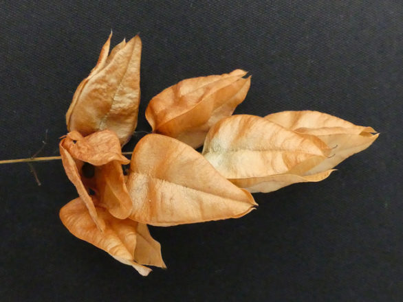 capsule trigone Koelreuteria paniculata