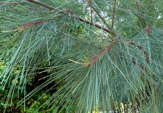 feuillage Casuarina equitesifolia