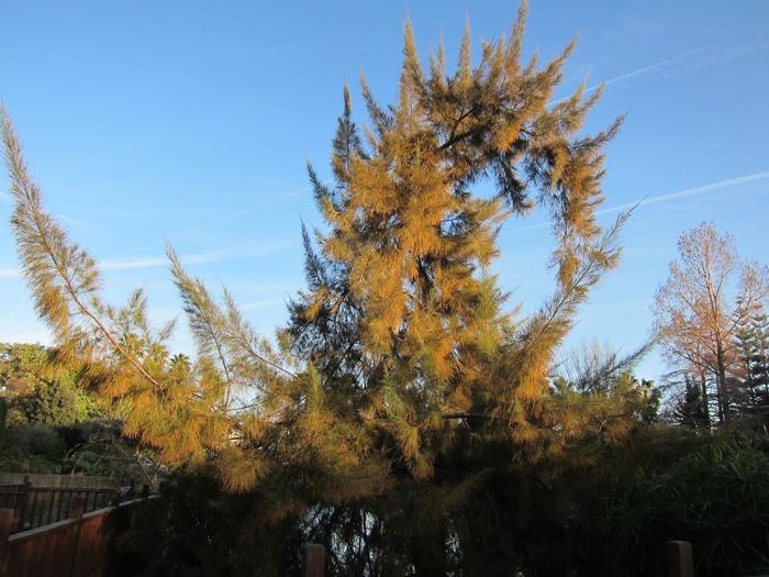 floraison d'un Casuarina cunninghamiana mâle