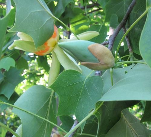 bourgeon floral du tulipier