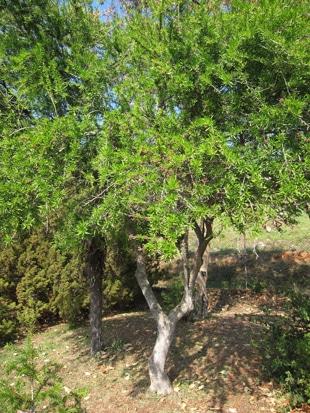 Schinus polygama forme petit arbre au jardin botanique de Nice