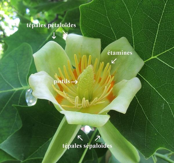 tépales sépaloïdes et pétaloïdes du tulipier