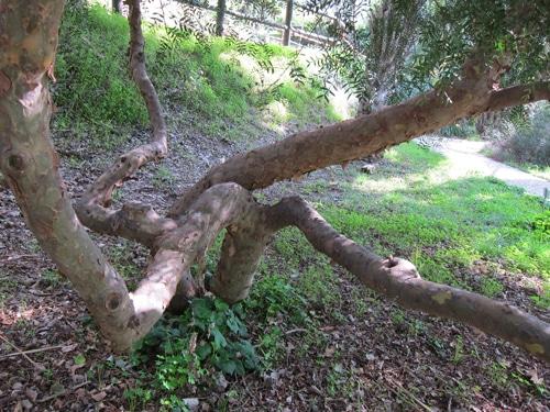 multi-troncs du Schinus lentiscifolius Jardin botanique de Nice