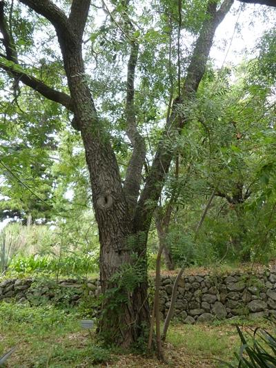 Schinus terebinthifolius var. acutifolius à Hanbury