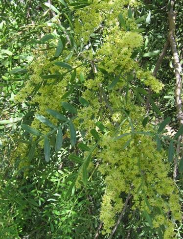 fleurs du Schinus lentiscifolius