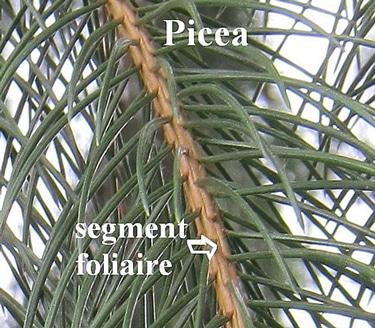 segment foliaire de l'épicéa - Picea