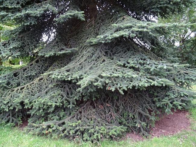 branches basses Abies numidica Kew Garden
