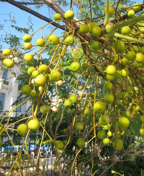 fruits du Melia