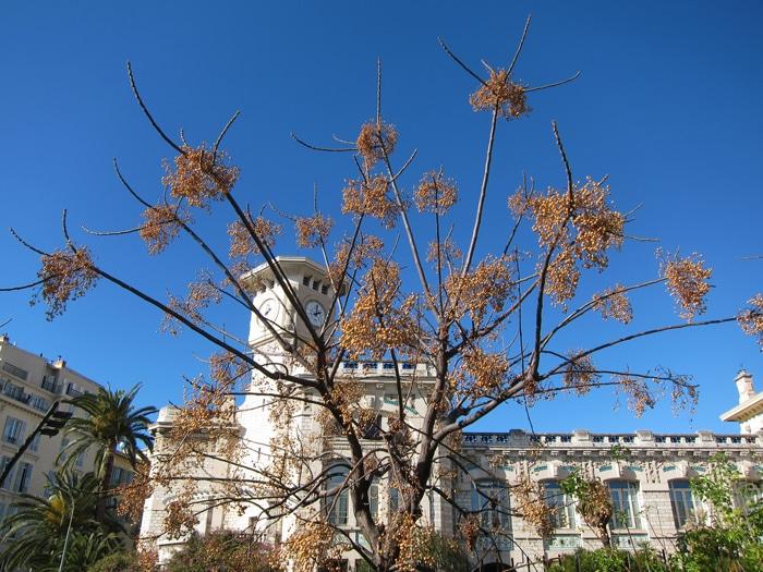 Melia azedarach Coulée verte à Nice