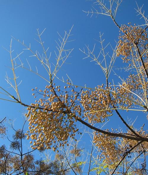 arbre à chapelets