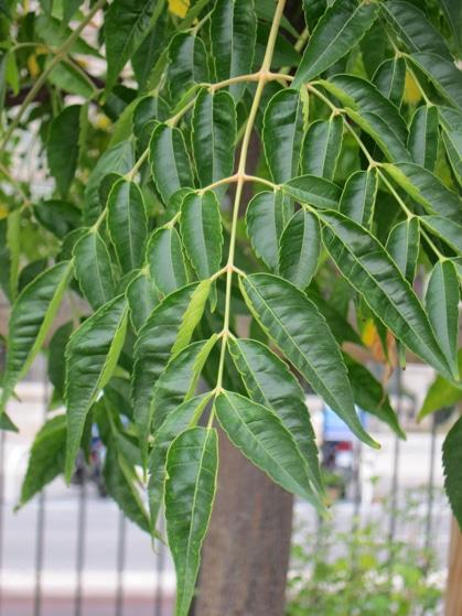 feuilles Melia azedarach