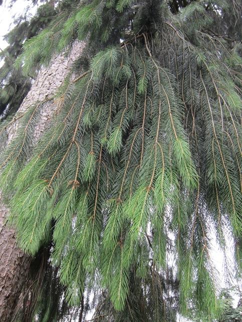 feuillage Picea smithiana