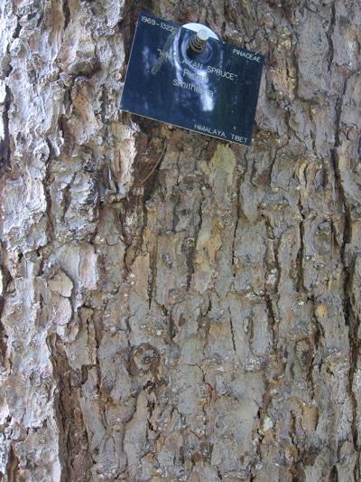 écorce Picea smithiana