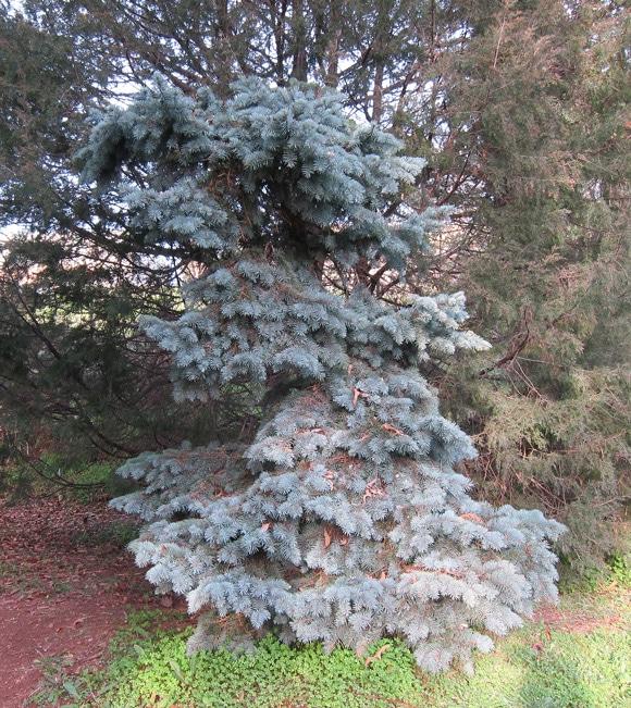Picea pungens Jardin botanique de Nice