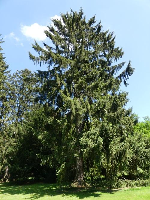 Picea abies Jardin de Meise Belgique