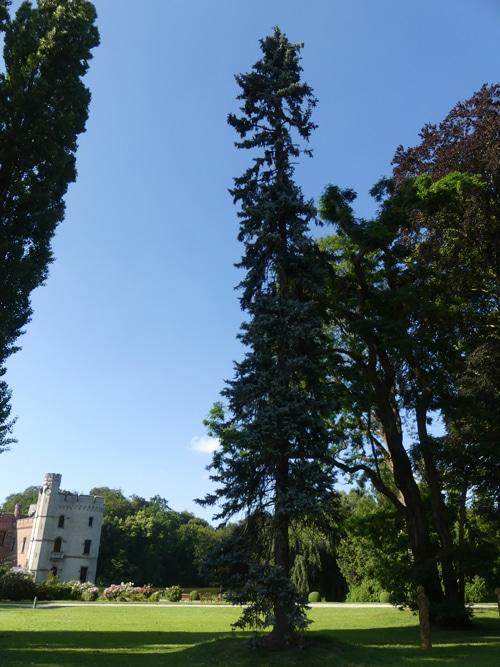 Picea pungens 'Koster' Jardin de Meise Belgique