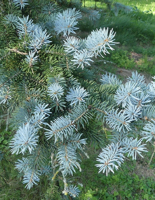 feuillage Picea pungens 'Koster'