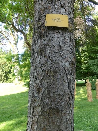 écorce Picea pungens 'Koster'