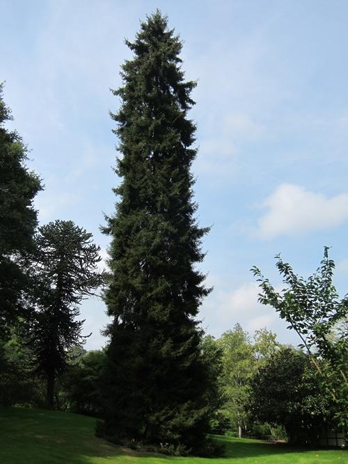 Picea orientalis Champtocé sur Loire 49